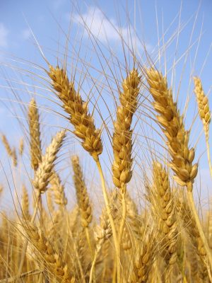 Is Wheat Giving You A Belly